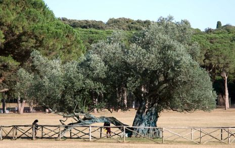 1600 year old olive